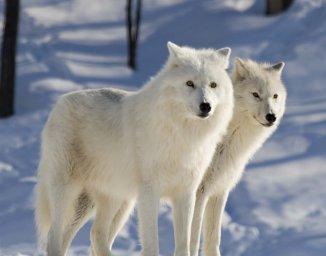 Полярный волк - Север России