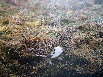 Тундровая куропатка-птицы Севера