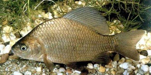 Карась-промысловые рыбы Байкала