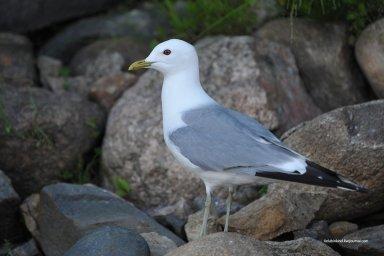 Птицы Севера-сизая чайка