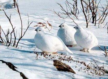 Белая куропатка-Птицы Севера