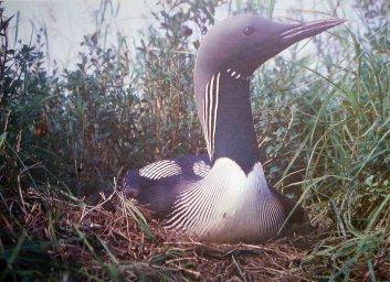 Птицы Севера-Чернозобая гагара