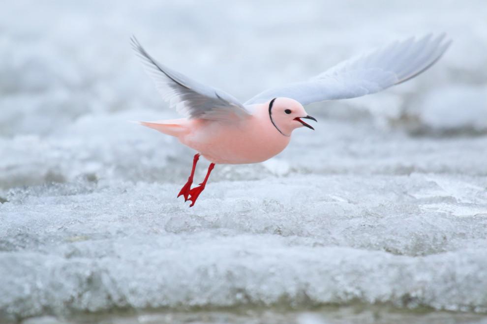 Птицы Севера-Розовая чайка