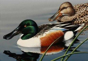 Широконоска-Птицы Севера