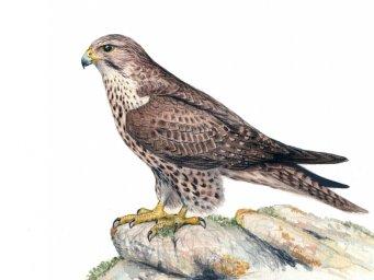 Сокол-САПСАН-хищные птицы Севера
