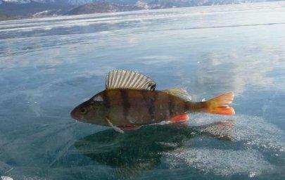 Окунь-промысловые рыбы Байкала