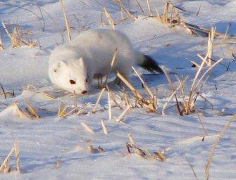 Горностай зимой-Север и Тундра России