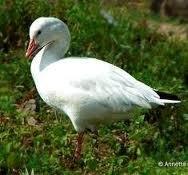 Птицы Севера-Белый гусь
