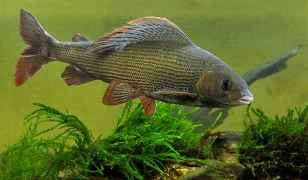 Хариус-промысловые рыбы байкала