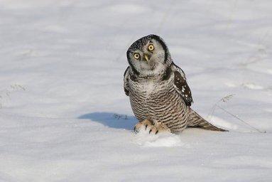 Ястребиная сова-хищные птицы Севера
