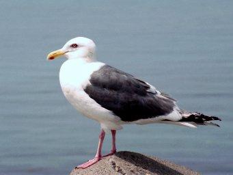 Птицы Севера- Тихоокеанская чайка