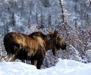 Лось-Север и Тундра России