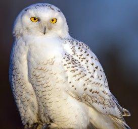 Белая сова-хищные птицы Севера