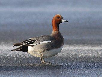 Свиязь-Птицы Севера
